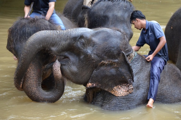 Die Elefanten beim Baden.
